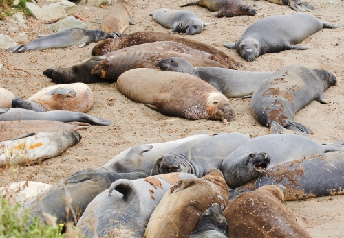 Elephant seals laying on the beach