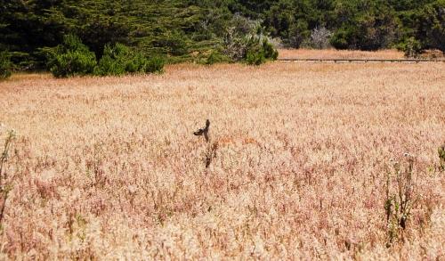 Deer in the tall grass