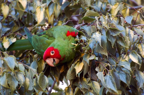 Parrot munching on the tree