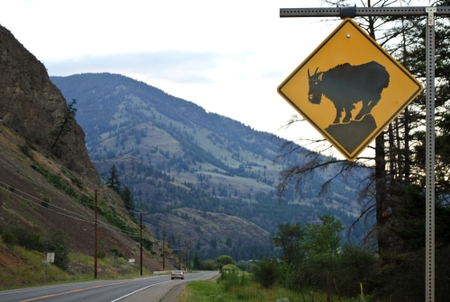 Mountain goat crossing