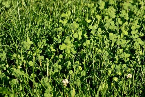 Find the 4-leaf clover