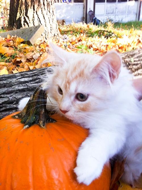 Mauling a pumpkin