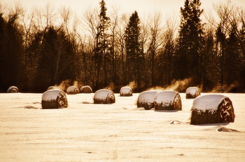 Steaming bales of hay
