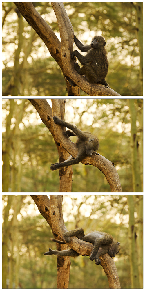 Baboon collage